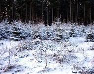 Weihnachtsbäume selber schlagen